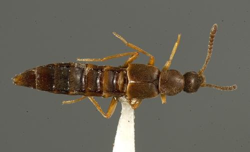 Alconota species